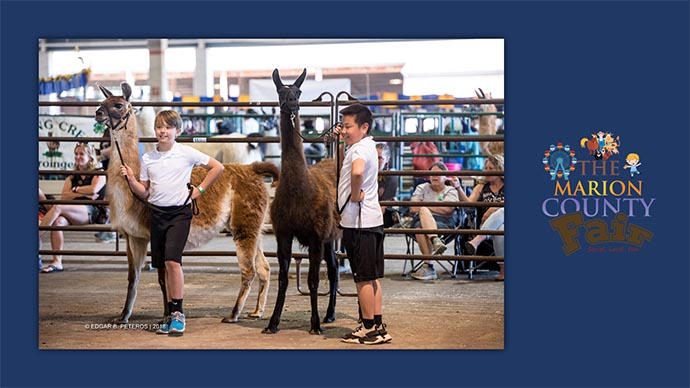 Marion County Fair - llamas